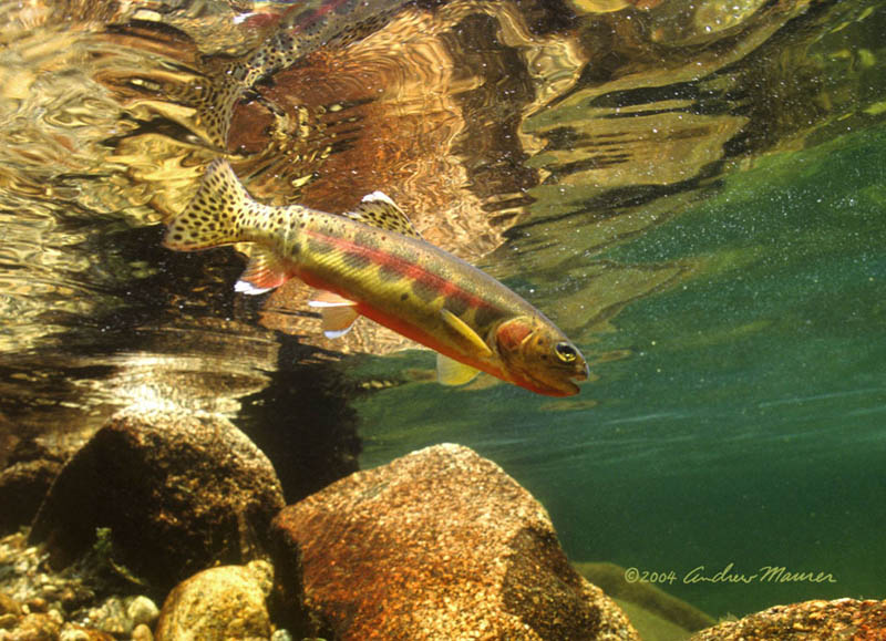 Golden Trout in Bear Creek