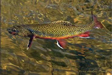 Eastern Brooke Trout