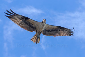 Flying-Osprey above the San Joaquin River